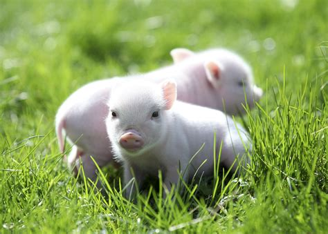 Pet Miniatur i am with my buddy animals adorbs plays animal and piglets
