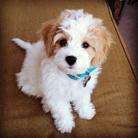 my new favorite dog cavachon animals adorbs pinterest dog