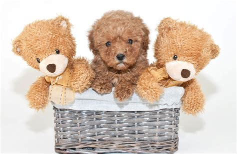 puppy that looks like a teddy looks like a big teddy breeds picture
