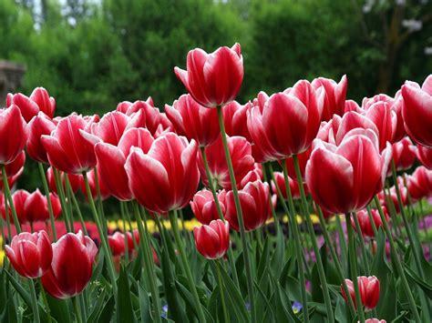 imagenes tulipanes rosas fondos de tulipanes flores wallpapers fondos de