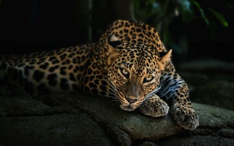 wallpaper for walls animal animal leopard hd desktop background wallpaper hd wallpapers