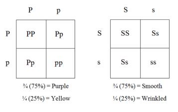 Corncob B: Dihybrid - Examining Genetic Crosses Using Corn F1 Generation Punnett Square
