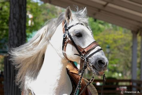 les m 233 di 233 vales jardin d acclimatation les chevaux andalous
