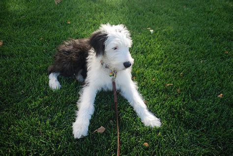 all about dogs sheepadoodle designer information all about dogs