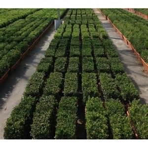 Topiary Box Balls - ilex crenata dark green 60cm trough