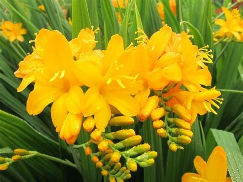 best yellow crocosmia paul s best yellow