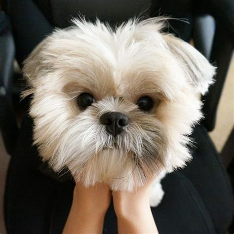 how do you say shih tzu shih tzu grooming images gallery