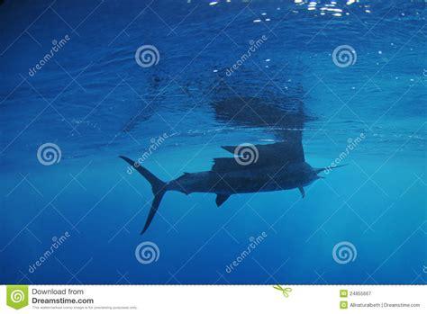 Swimming Fish L by Sailfish Fish Swimming In Royalty Free Stock
