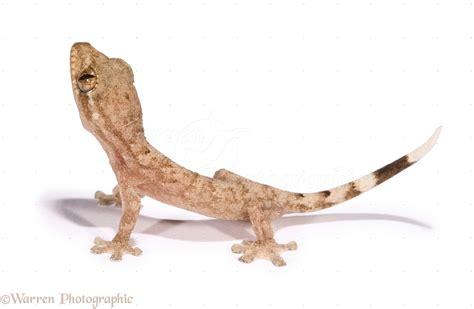 tropical house gecko baby house gecko photo wp12800
