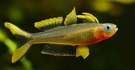 Peluang Usaha Budidaya Ikan Kembung peluang usaha budidaya ikan furcata dan analisa usahanya agrowindo