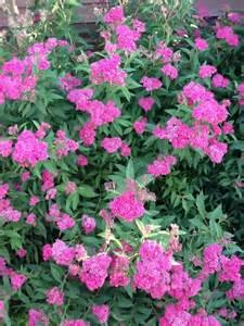 spirea shrub i m in the garden pinterest