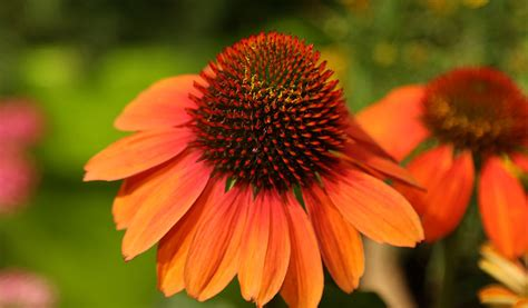 perennial   week coneflower damblys garden center