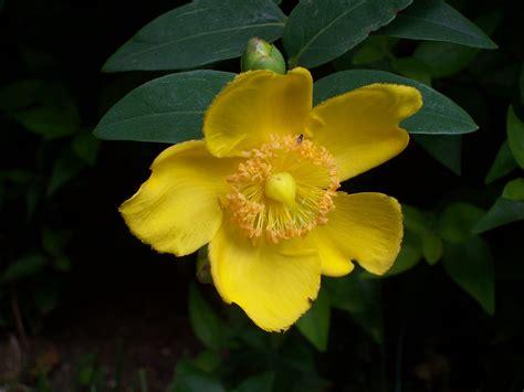 iperico fiore piante sempreverdi da balcone parte vii gea draconia