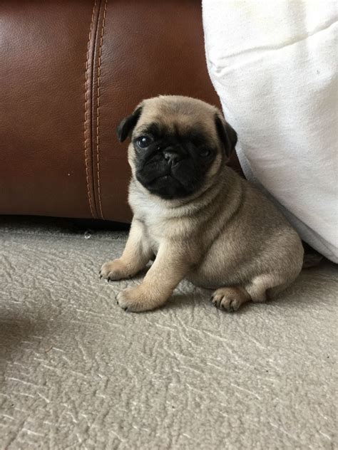 pug puppies for sale in lancashire available now gorgeous pug puppies for sale lancashire pets4homes