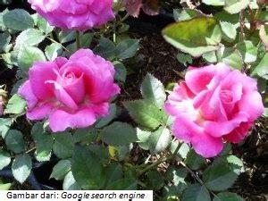 budidaya tanaman budidaya tanaman hias bunga mawar