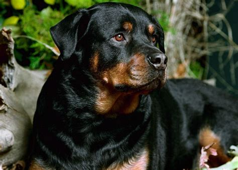 rottweiler different types different breeds of rottweilers dogs trend home design and decor