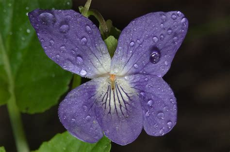 viola flower search in pictures