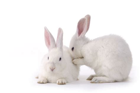 like a bunny are rabbits as prolific as everybody says mental floss