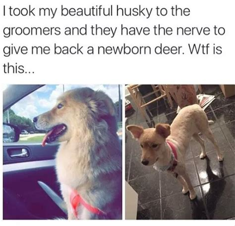 Dog Groomer Meme - funny animal pictures of the day 20 pics