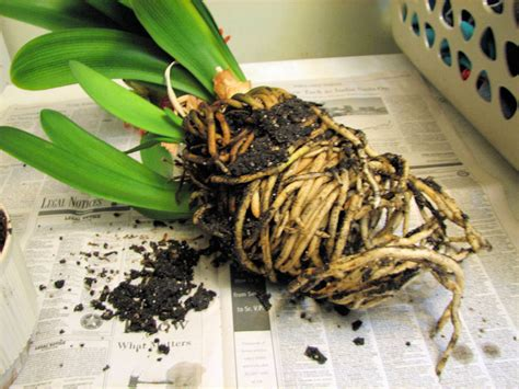 Potted Plants clivia repotting question