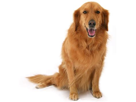 golden retriever pet golden retriever essendon vet clinic
