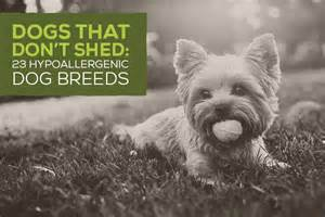 dogs that don t shed 23 hypoallergenic breeds