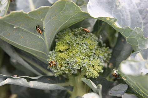 vegetable garden pests fafardcommon vegetable garden pests