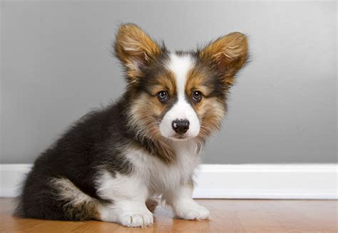 how much are corgi puppies 15 pictures of corgis to make your monday better