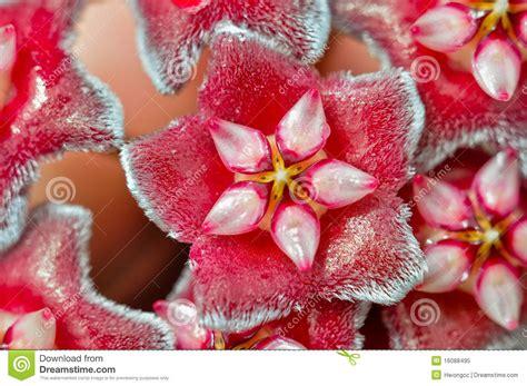 Tropical Climbing Plant - hoya flowers hoya carnosa macro royalty free stock photo image 16088495