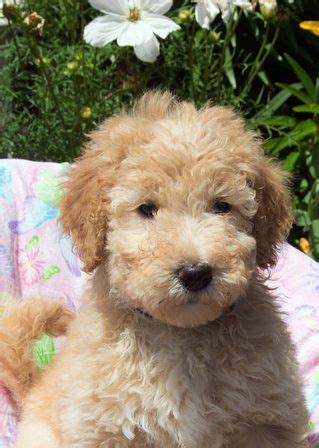 mini wheaten doodle mini whoodles for adoption breeds picture