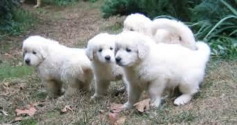 Akbash Puppies   Puppy Dog Gallery