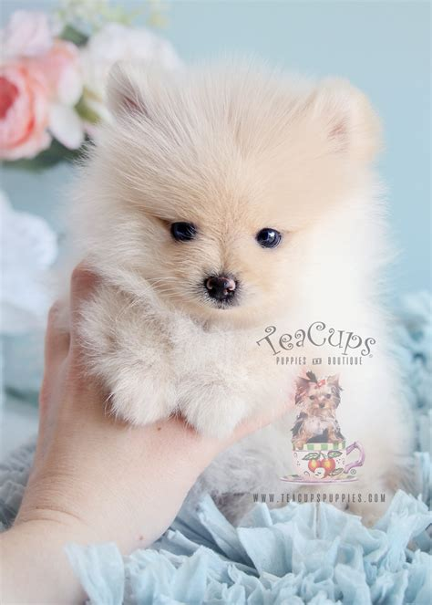 pomeranian puppies in florida teacup pomeranians for sale at teacups puppy boutique south florida teacups puppies
