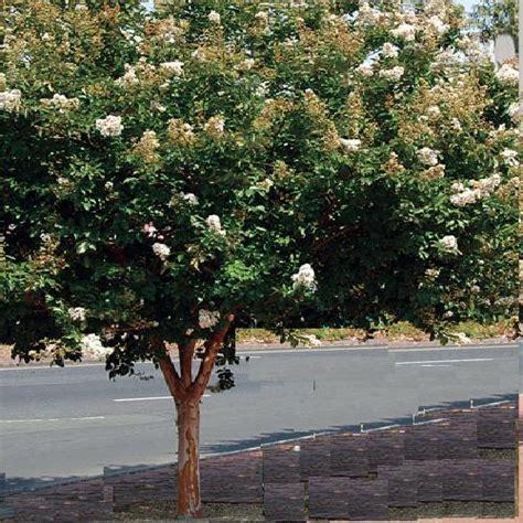 Vase Garden Lagerstroemia Indian Summer Crepe Myrtle Natchez Crepe