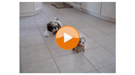 shih tzu eye stains shih tzu daily how to remove tear stains from of shih tzus and maltese