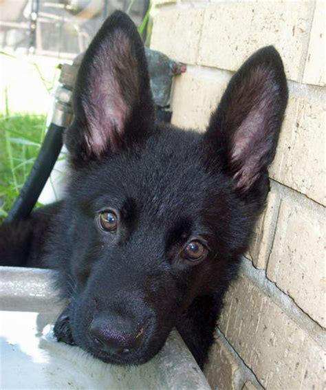 all black german shepherd puppies all black german shepherd puppies wide hd wallpapers images and pics free