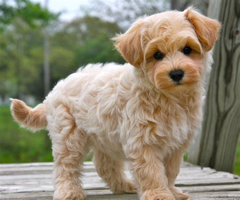 buying puppies buying information about maltipoo puppies for sale