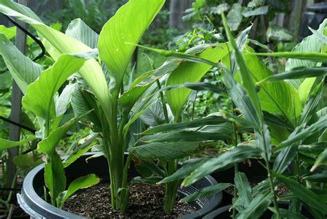 Garden Of Turmeric Growing Turmeric In Pots How To Grow Turmeric Care