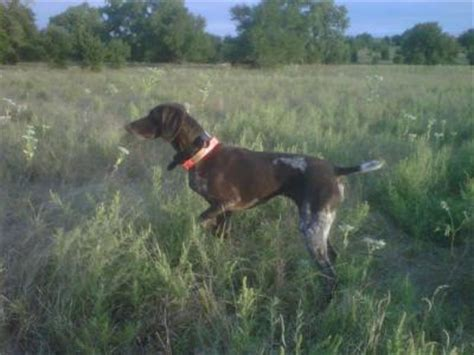 setter dogs kansas hunting dogs for sale gun dog breeders classified ads