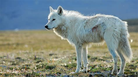 white wolf white falcon white wolf about nature pbs