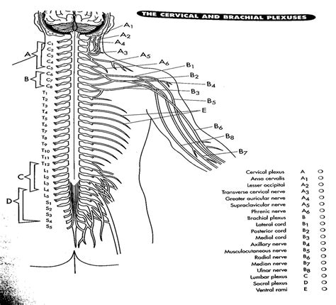 anatomy coloring pages nervous system nervous system miss l williams