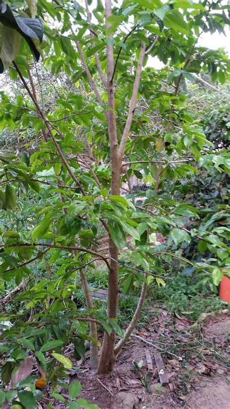 warisan petani tanaman durian belanda