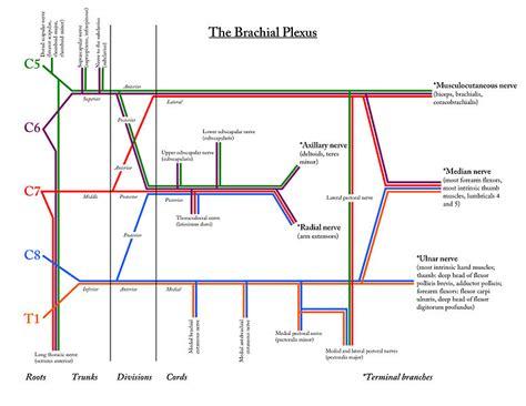 brachial plexus diagram file brachialplexusdetaileddiagram jpg