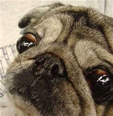pug genetic problems pug brachycephalic ocular ufaw