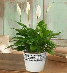 indoor plants no sun 11 best images about my house plants on pinterest low