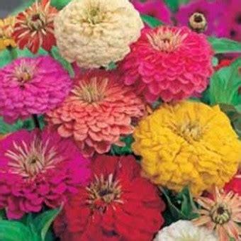 10 Benih Biji Bunga Zinnia Carpet benih zinnia early mixed 10 biji non retail bibitbunga