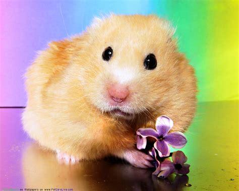hamster mobile free free hamster desktop wallpaper wallpapersafari
