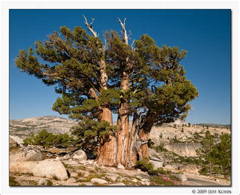 Type Of Trees by Triplet Juniper Tree Photo Jeff Kohn Photos At Pbase Com