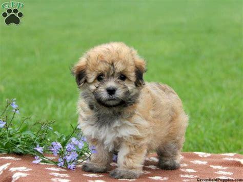 havapoo puppies havapoo puppies www imgkid the image kid has it