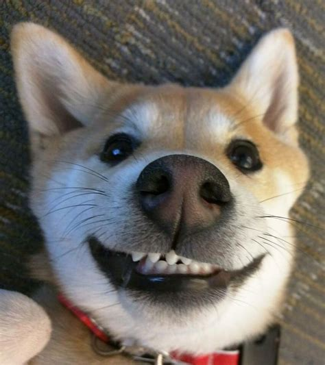 puppy smiling 17 best images about smiling is the best medicine on
