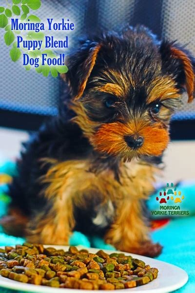 vitamins for yorkies yorkie puppies for sale teacup dogs moringa for dogs colorful yorkies merle